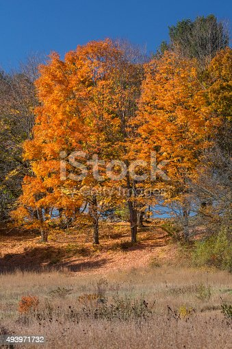 Colorful orange fall foliage of sugar maple trees on a hillside, against a deep blue sky in Mansfield Hollow, Connecticut.