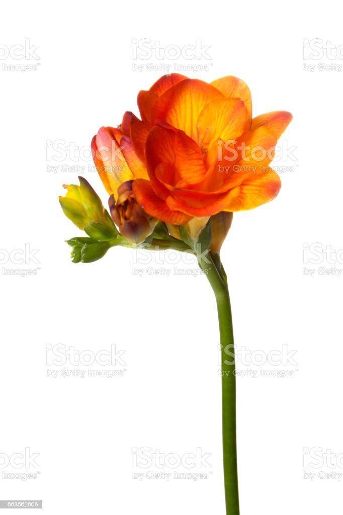 Orange Freesia圖像檔