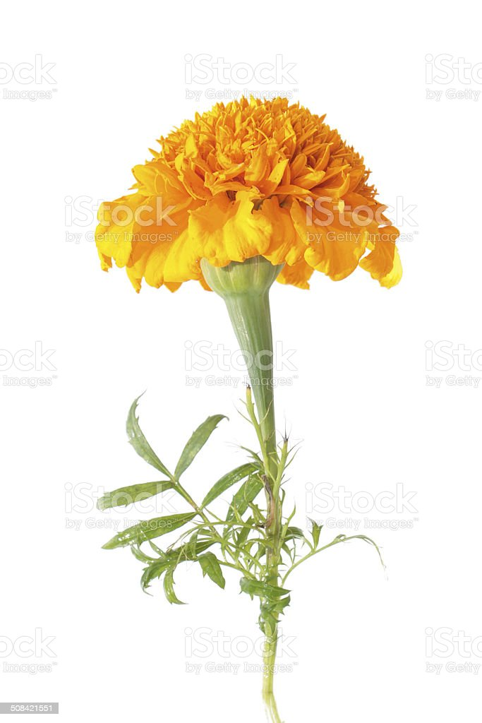Orange french marigold flower isolated on white stock photo more orange french marigold flower isolated on white royalty free stock photo mightylinksfo