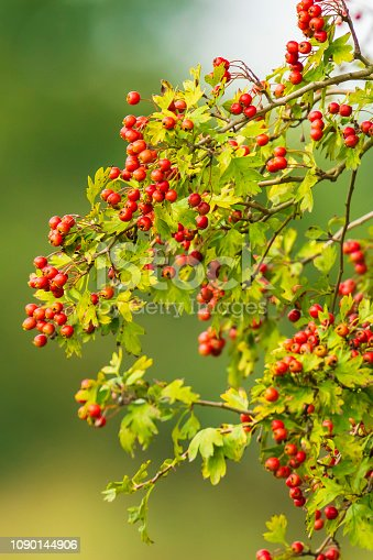 istock Orange fruit berries of a Sorbus aucuparia tree, Blooming in bright sunlight during Autumn. 1090144906