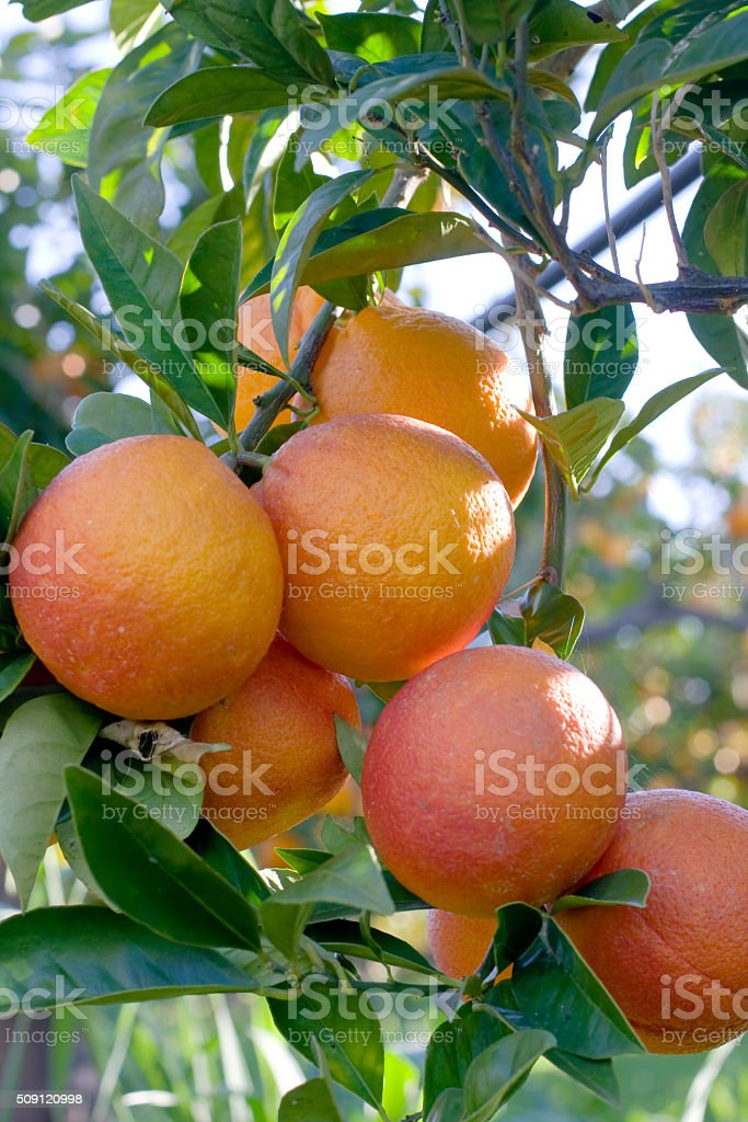 Orange fruit on a tree limb stock photo