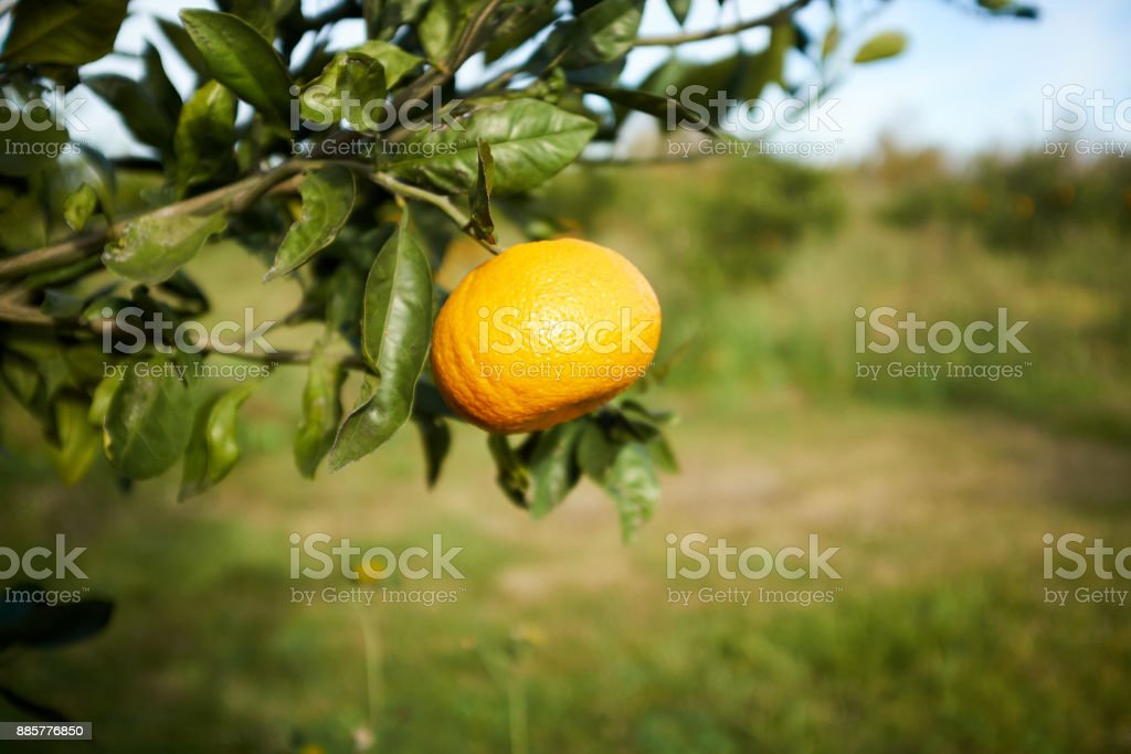 Orange fruit on tree branch in close up view stock photo