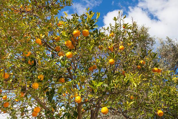 orange fruit tree stock photo