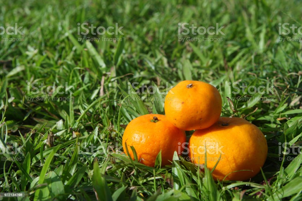 Orange fruits on green grass stock photo