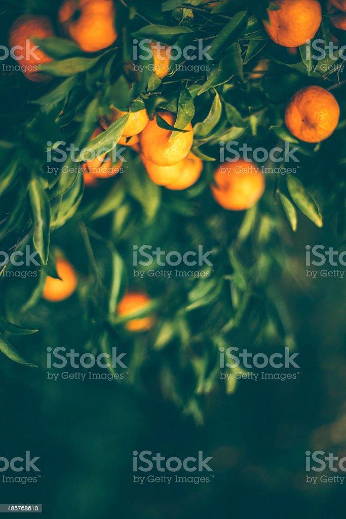 Frutta arancione, in Sicilia. - foto stock