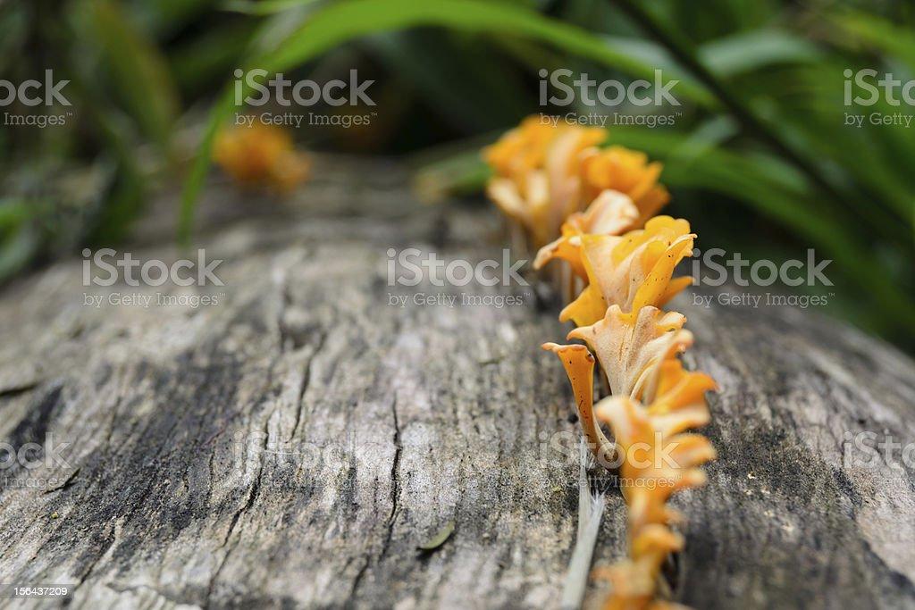 orange fungi on a tree stump royalty-free stock photo