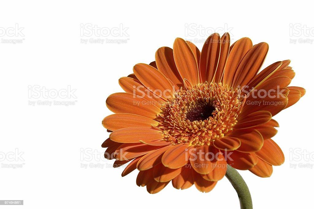 Orange garber isolated on white background royalty-free stock photo