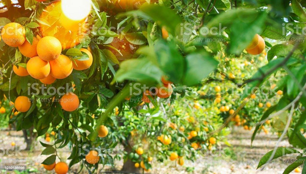 Fondo de verano jardín, naranja - foto de stock