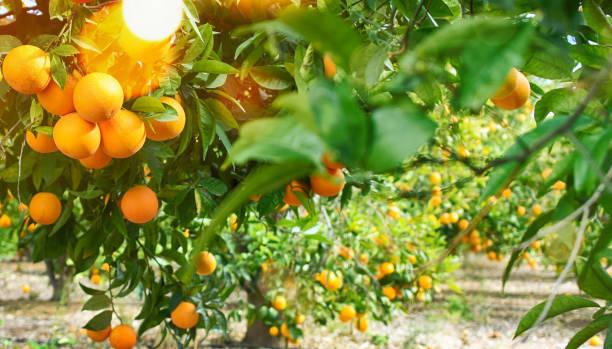 橙色庭院, 夏天背景 - 柑橘類水果 個照片及圖片檔