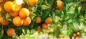 istock Orange garden, summer background 1019846790