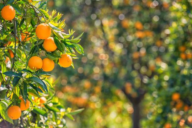 Orangefarbener Garten mit Raps orangefarbenen Früchten – Foto