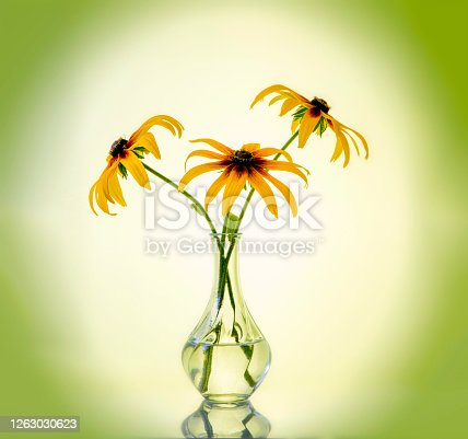 Orange gardens daisies rudbeckia Black-Eyed Susan flowers in a vase on a gradient background with vignette, artistic still life . High quality photo