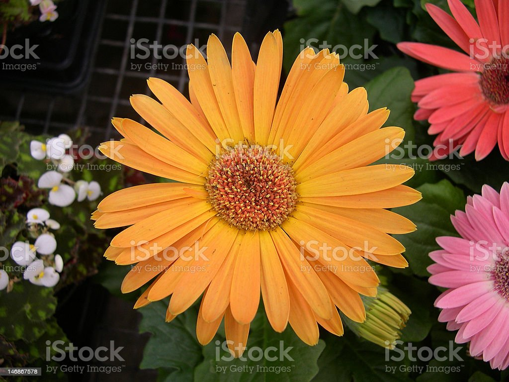 Orange Gerber Daisy Flower stock photo