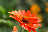 Orange Gerber Daisy Flower with a solid Orange Butterfly on it. Bright natural light.
