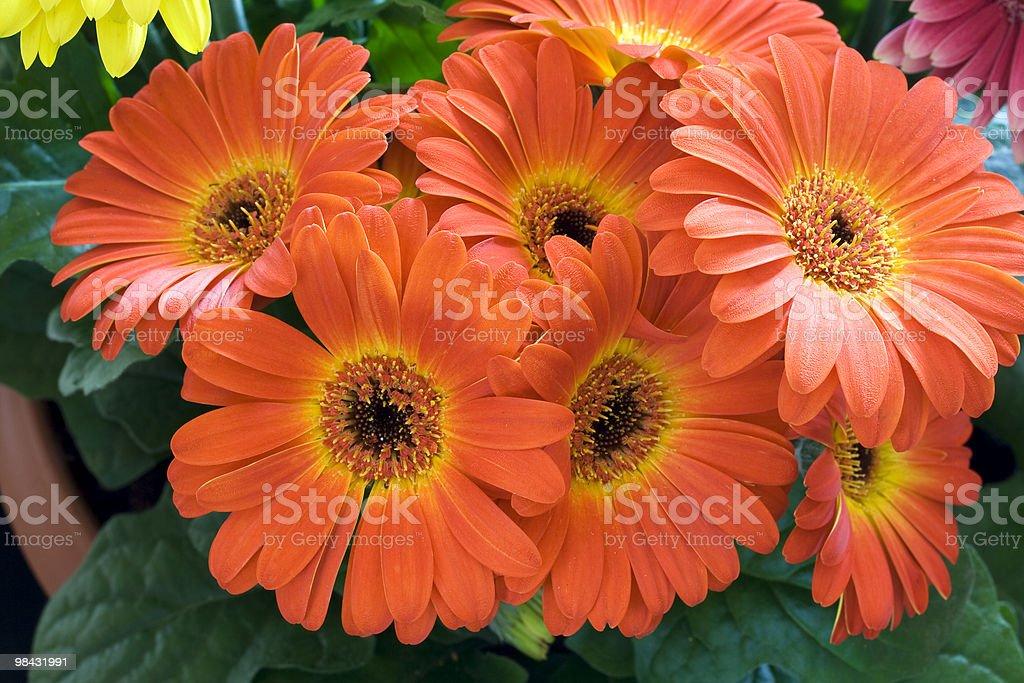 Orange gerber royalty-free stock photo