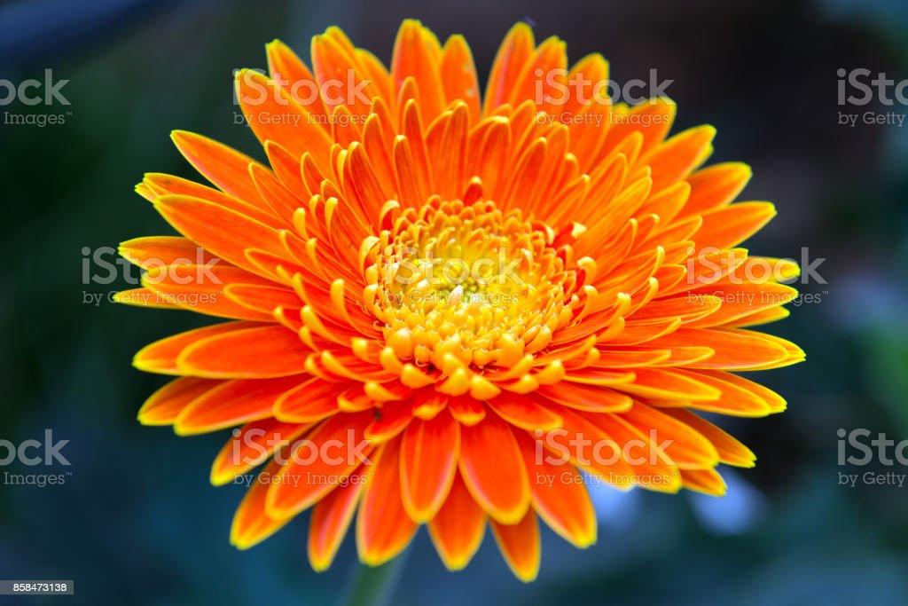 Orange gerbera close up stock photo