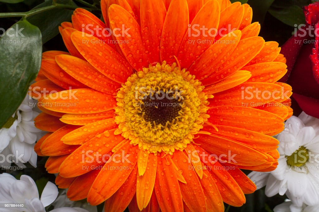 Orange gerbera closeup on flower petals with water drops and flower inside. Orange flower petals on macro and white background. stock photo