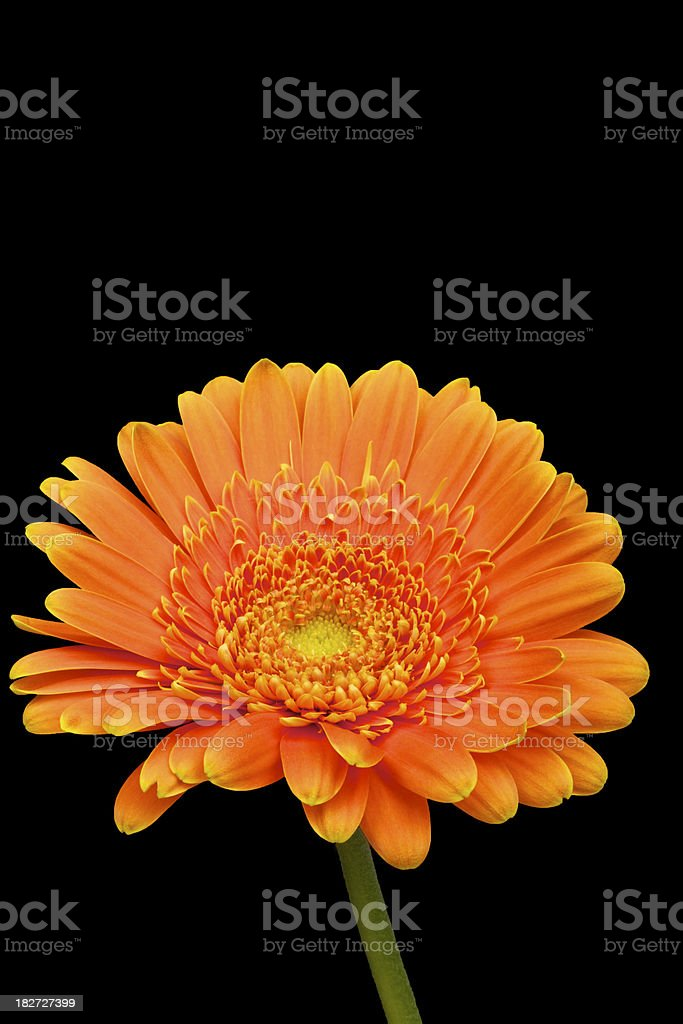 Orange Gerbera Daisy, Isolated on Black, Spring Flower royalty-free stock photo