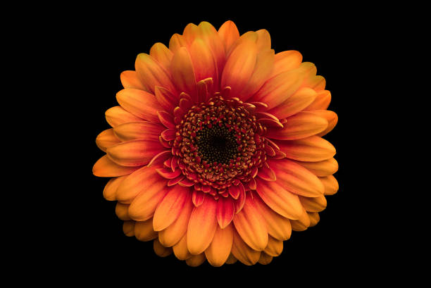 Orange Gerbera Daisy on Black. stock photo