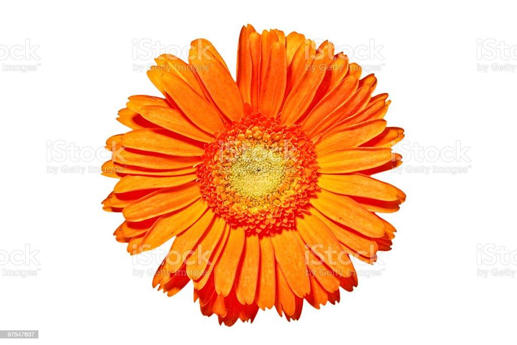 Orange gerbera flower close up royalty-free stock photo