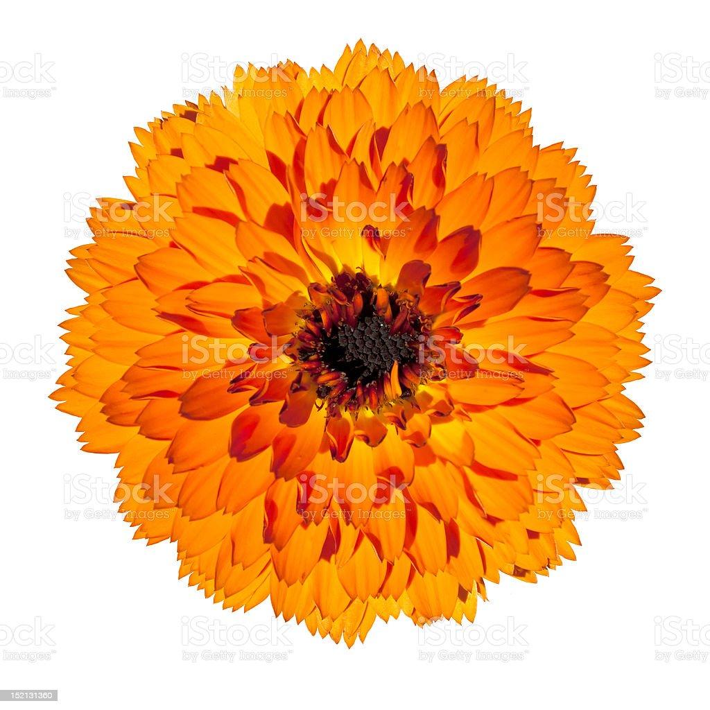 Orange Gerbera Flower Isolated on White Background royalty-free stock photo