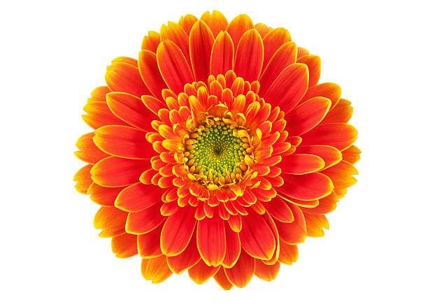 Orange gerbera flower isolated on white. stock photo