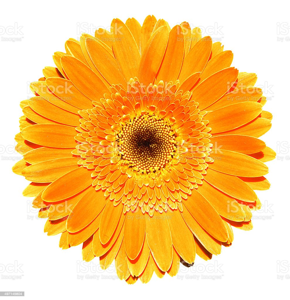 Orange gerbera flower macro photography isolated on white stock photo