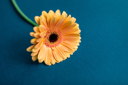 Orange gerbera flower on a white isolated background with clipping path. Closeup. For design. Nature.