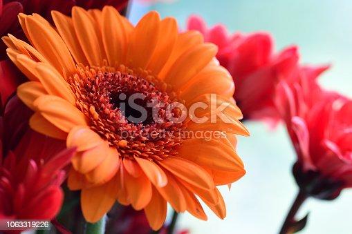 Close up of an orange gerbera flower in bloom