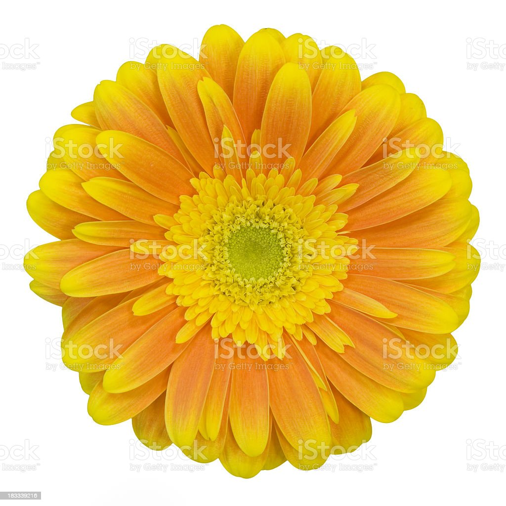 Orange gerbera royalty-free stock photo