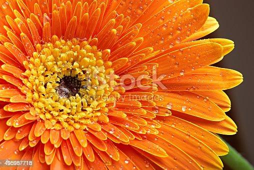 Orange gerbera with dew