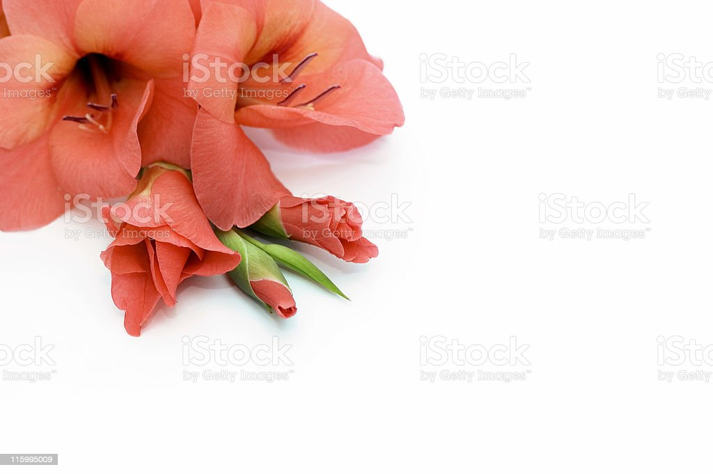 Orange Gladiolus stock photo