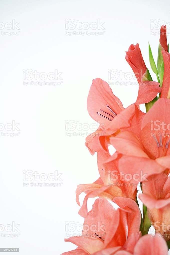 Orange Gladiolus royalty-free stock photo