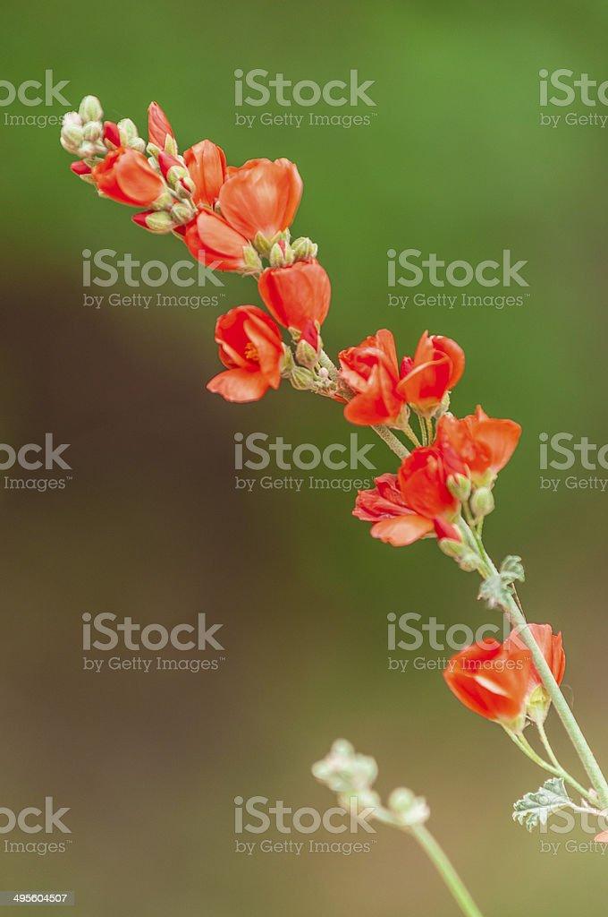 Orange globe Flower blossoms stock photo