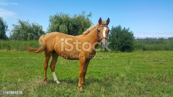 orange Golden Horse, Mare In the Pasture, beautiful horse background
