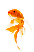 Golden koi fish isolated on white background.