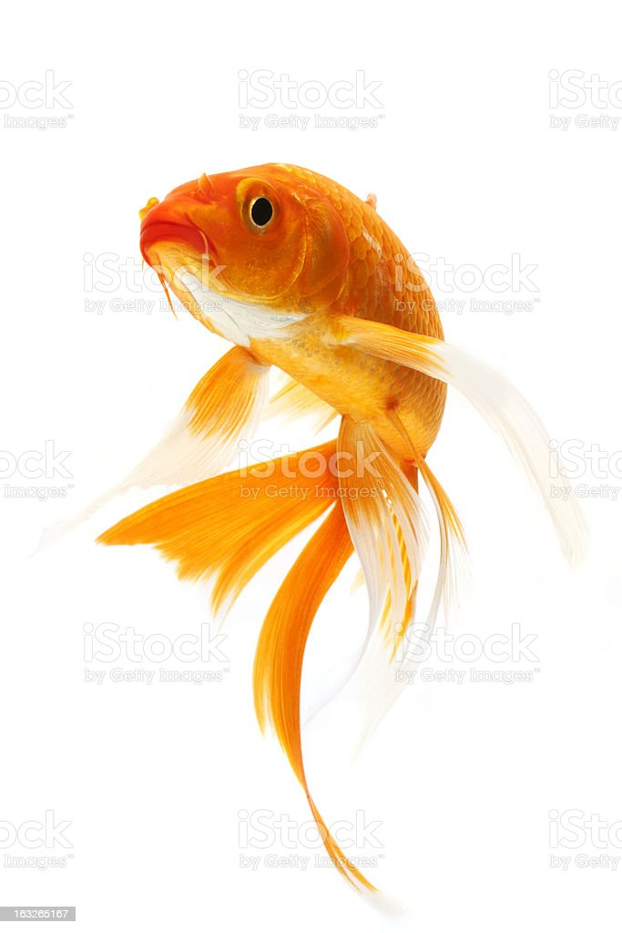 Orange golden koi fish on white background stock photo