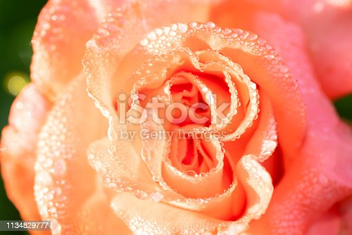 orange golden rose blooming in the spring with morning dews