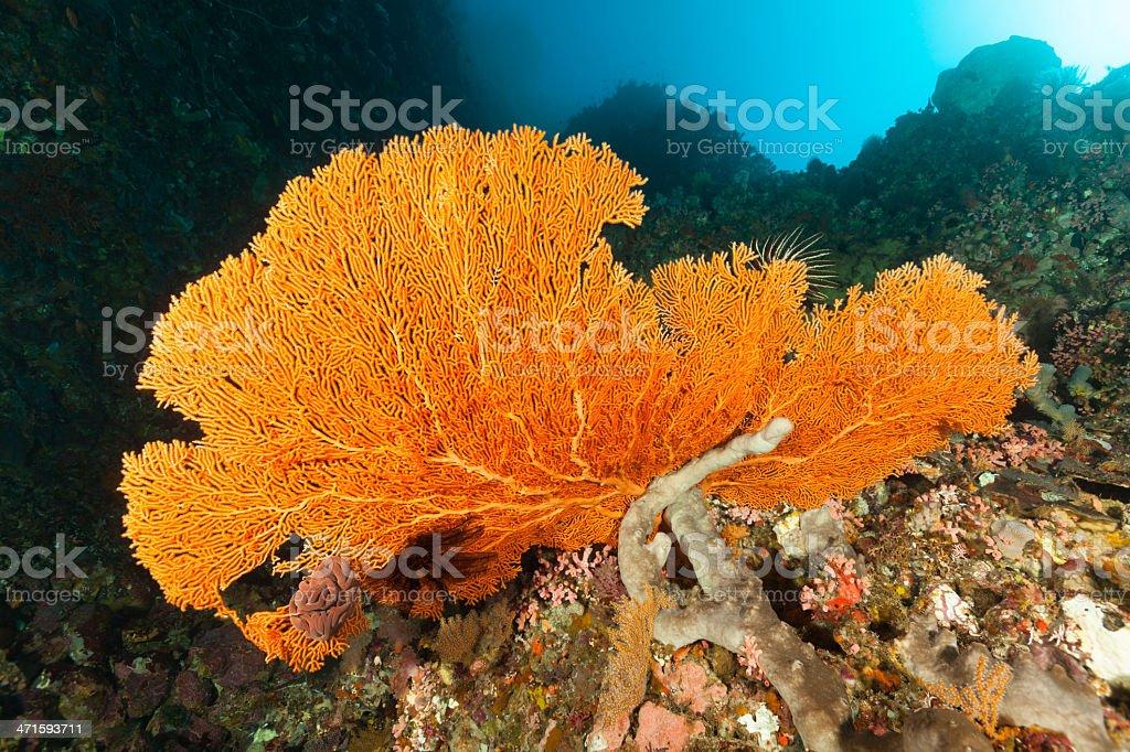 Orange Gorgonian Seafan Beauty at Elalara, Pantar Island, Indonesia stock photo