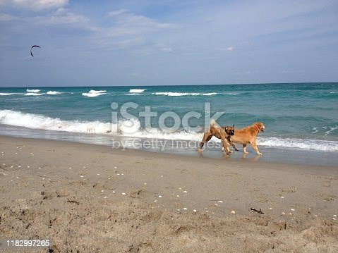 bTwo dogs run on Florida shore.Cricket in the grass
