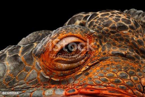 Foto de Iguana Verde Laranja Isolada No Fundo Preto e mais banco de imagens de Animais caçando