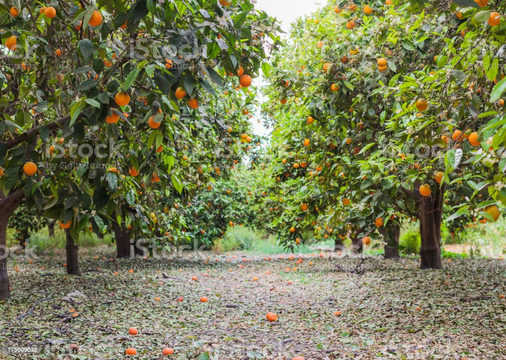 Orange grove full of ripe oranges on green trees stock photo