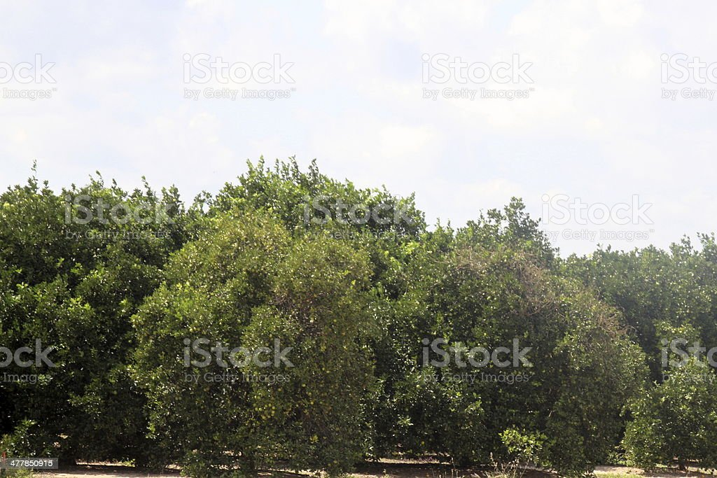 Orange Grove in Central Florida royalty-free stock photo
