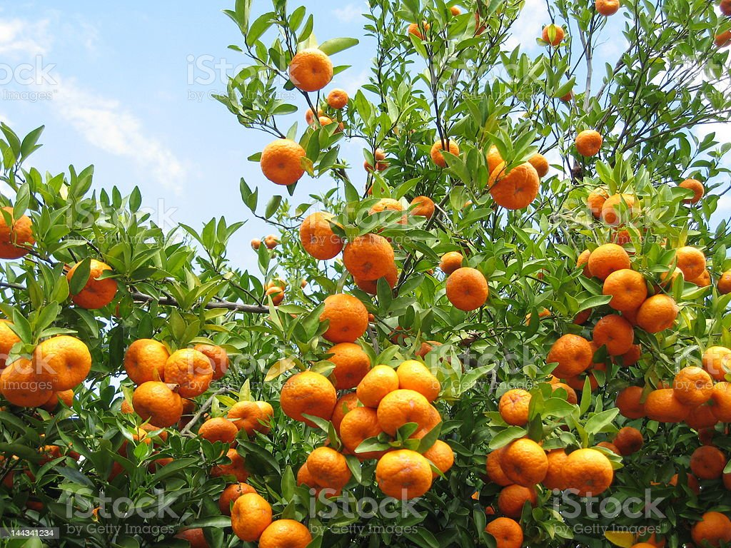 Orange Grove stock photo