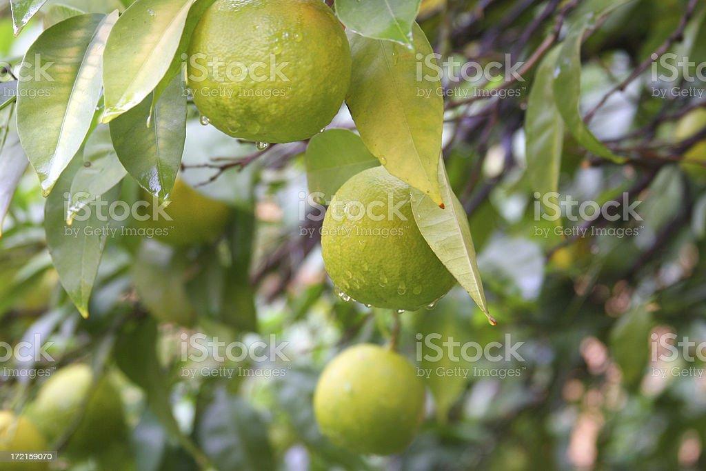Orange Grove royalty-free stock photo