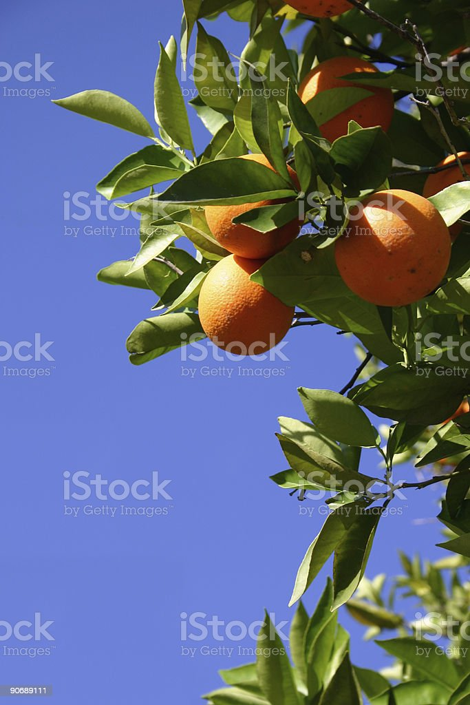 Orange Grove royalty-free stock photo