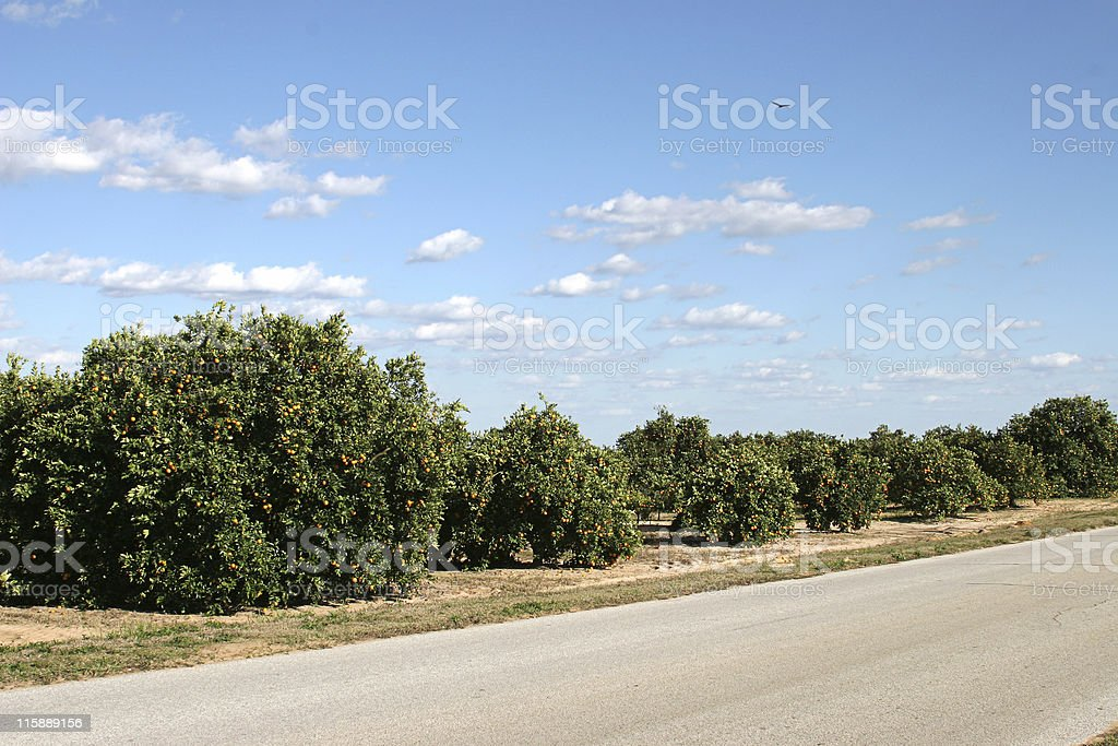 Orange Groves In Florida stock photo
