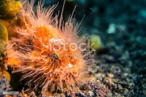 istock Orange hairy frogfish 468437143