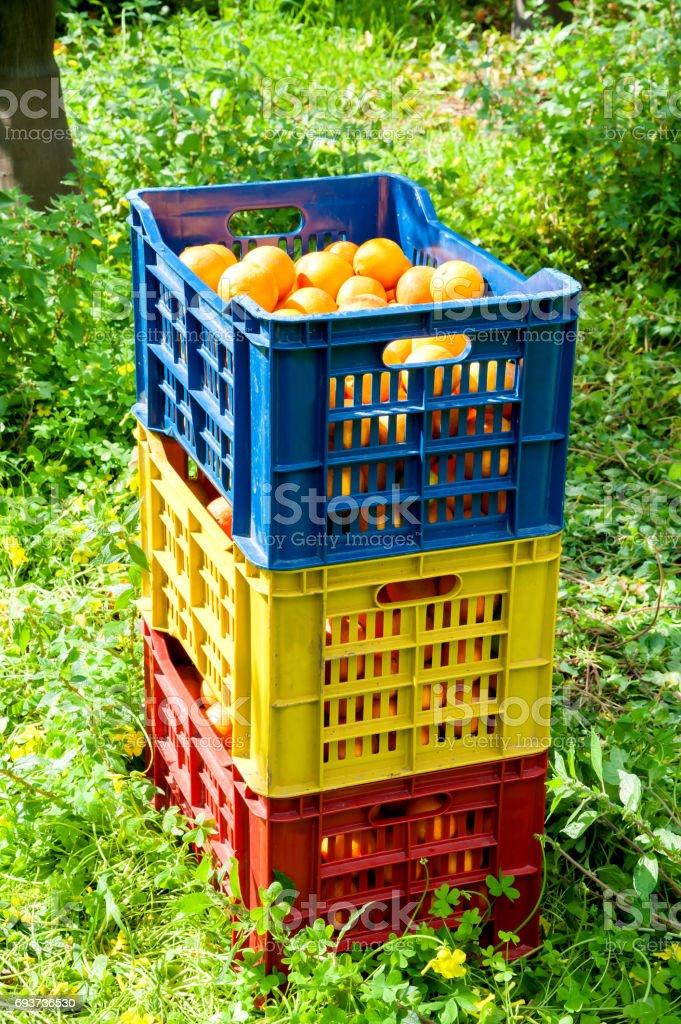 Orange harvest time stock photo