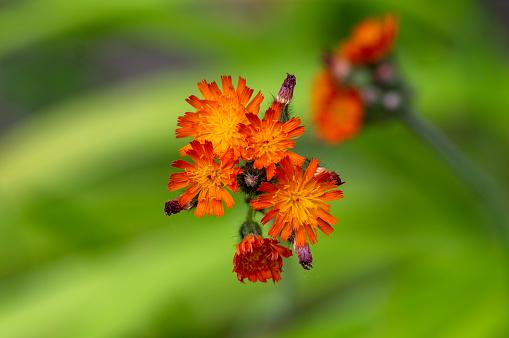 Orange Hawkweed Flowers In Bloom Wild Ornamental Flowering ...